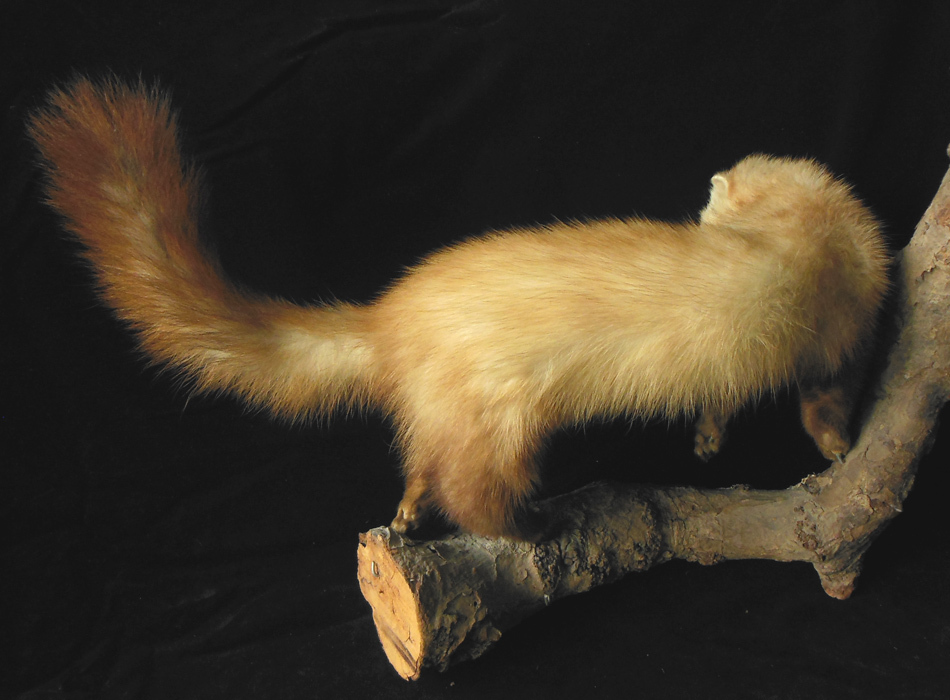 FURET NATURALISÉ / TAXIDERMIE