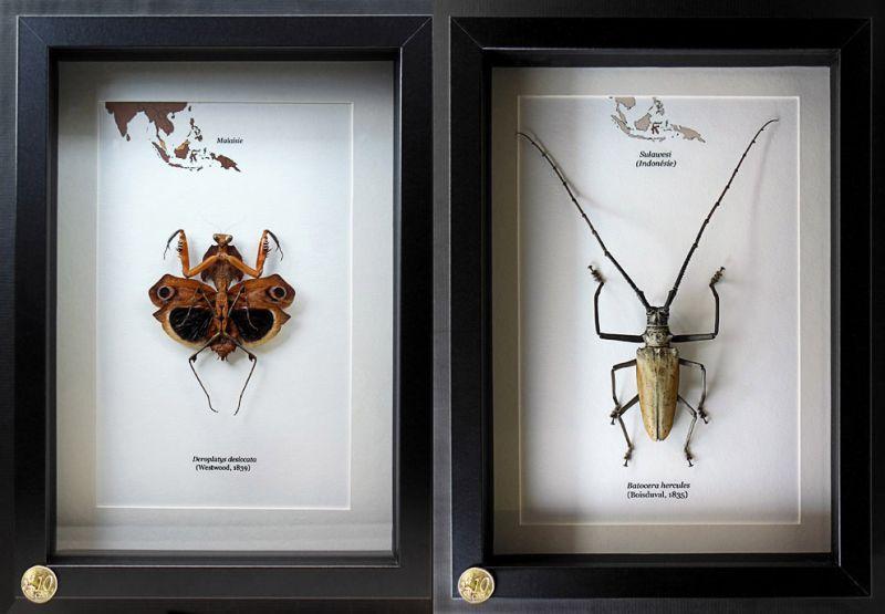 entomologie collection d 39 insectes naturalis s sous cadre. Black Bedroom Furniture Sets. Home Design Ideas