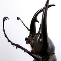 SCARABÉE RHINOCÉROS (Chalcosoma caucasus) SOUS GLOBE VERRE