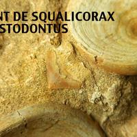 3 vertèbres fossiles de requin Otodus Obliquus + dent de Squalicorax + dent d'Enchodus