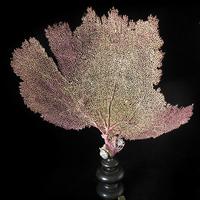 GORGONE JAUNE & VIOLETTE (Gorgonia flabellum) / ÉVENTAIL DE MER SUR SOCLE NAPOLÉON III