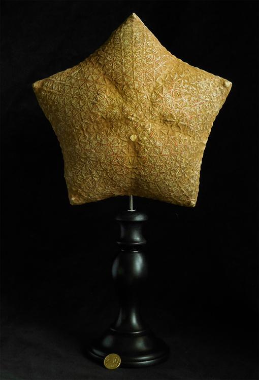 ÉTOILE DE MER COUSSIN (Halityle regularis) SUR SOCLE NAPOLEON III