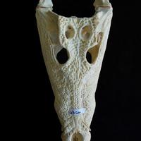 CRÂNE DE CROCODILE DE 43CM SUR SOCLE (Crocodylus niloticus)