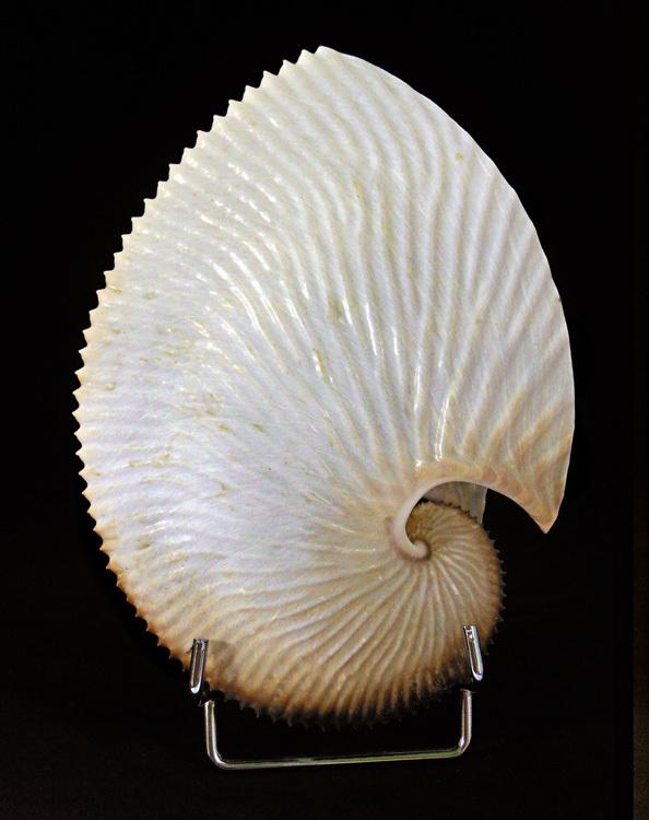 ARGONAUTE ( Argonauta argo ) PHILIPPINES.