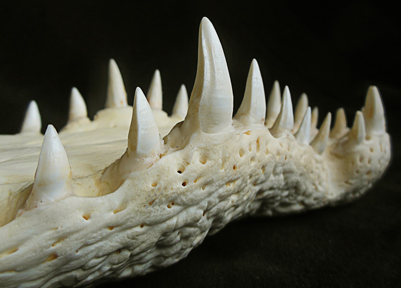 CRÂNE DE CROCODILE DE 49CM SUR SOCLE (Crocodylus niloticus)