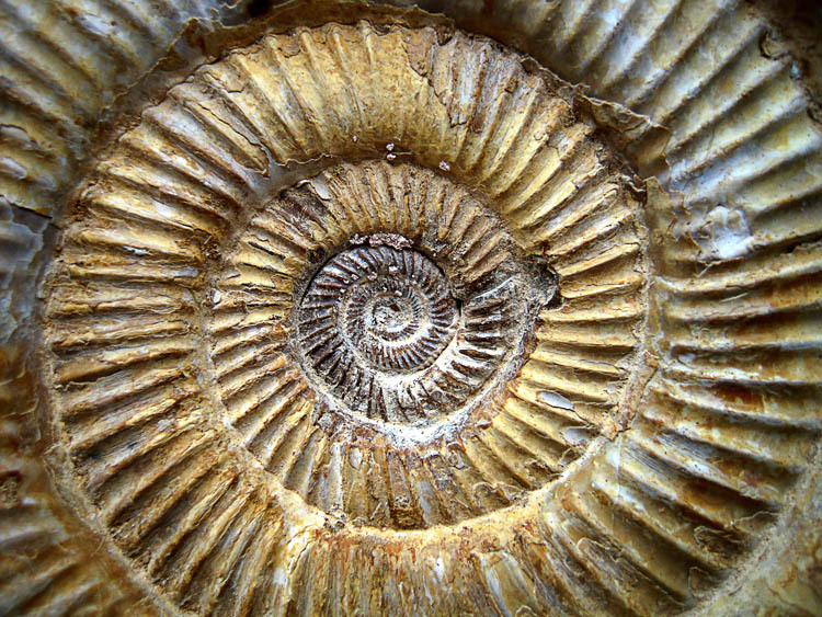 AMMONITE PERISPHINCTES SUR SOCLE UNIQUE!