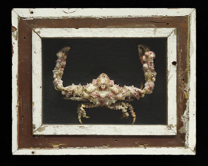 CRABE PIERRE (Daldorfia horrida) SOUS CADRE EN BOIS RECYCLÉ. PIÈCE UNIQUE!